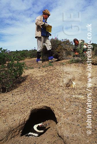 Magellan Penguin (Spheniscus magellanicus) : scientists at work in penguin colony, penguin in foreground burrow, Punta Tombo, Patagonia, Argentina, South America