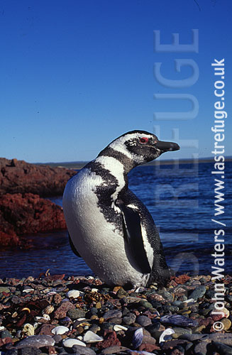 Magellan Penguin (Spheniscus magellanicus) : adult standing on gravel ridge, sea background, Punta Tombo, Patagonia, Argentina, South America