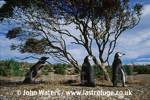 Magellan Penguins (Spheniscus magellanicus) : adult and two large chicks, standing by scrawny bush, Punta Tombo, Patagonia, Argentina, South America