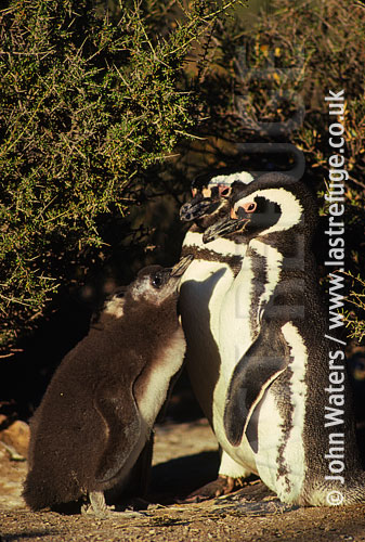 Magellan Penguins (Spheniscus magellanicus) : adult pair, standing, large chick waiting to be fed, Punta Tombo, Patagonia, Argentina, South America