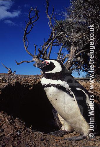 Magellan Penguin (Spheniscus magellanicus) : adult pair, standing outside burrow, Punta Tombo, Patagonia, Argentina, South America