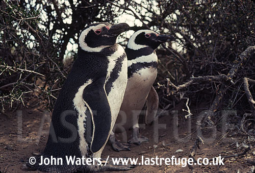 Magellanic Penguins (Spheniscus magellanicus) : pair sheltering under bush Punta Tombo, Patagonia, Argentina, South America