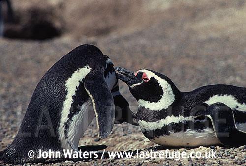 Magellanic Penguins (Spheniscus magellanicus) pair mutual grooming, Punta Tombo, Patagonia, Argentina, South America