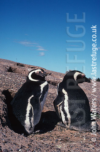 Magellan Penguins (Spheniscus magellanicus) : pair, standing at entrance to burrow, gravelly ground, Patagonia, Argentina, South America