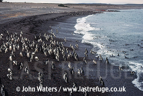 Magellanic Penguins (Spheniscus magellanicus) : Many adults and juveniles, at water's edge on pebbly beach, Punta Tombo, Patagonia, Argentina, South America