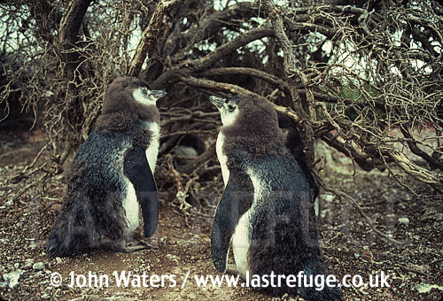 Magellanic Penguins (Spheniscus magellanicus) two large chicks, awaiting adults return, Punta Tombo, Patagonia, Argentina, South America