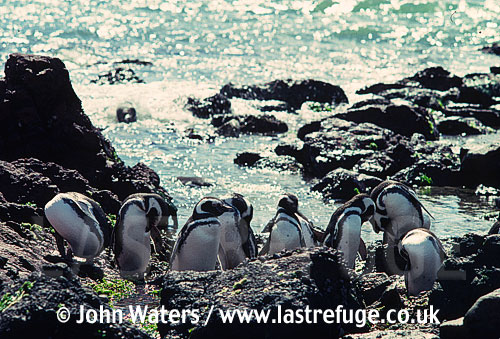 Magellanic Penguins (Spheniscus magellanicus) : Several adults, preening, rocky shore, sea background, Punta Tombo, Patagonia, Argentina, South America
