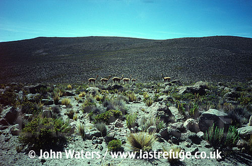 Vicuna, Lama vicugna, high altitude plains, mountains, Andes, , near Arequippa, Peru, South America