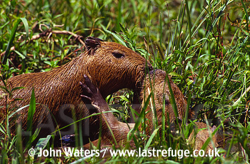Young Capybara (Hydrochaeris hydrochaeris)s playing, Ibera Marshes, Prov. Corrientes, North-East Argentina