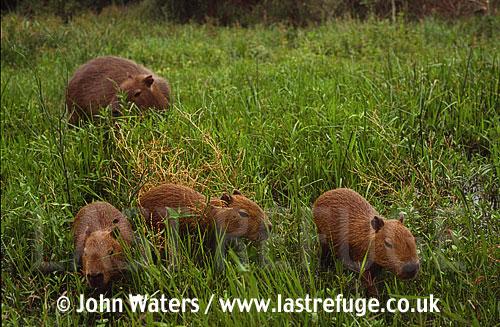 Capybara (Hydrochaeris hydrochaeris) female with pups, Ibera Marshes, North-East Argentina, Argentina