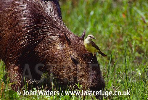 Capybara (Hydrochaeris hydrochaeris) with cattle tyrant, Ibera Marshes, North-East Argentina, Argentina