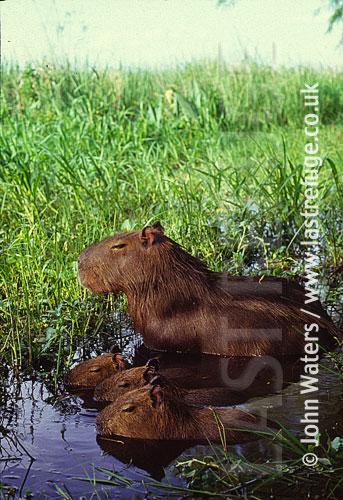 Capybara (Hydrochaeris hydrochaeris) with young, Ibera Marshes, North-East Argentina, Argentina