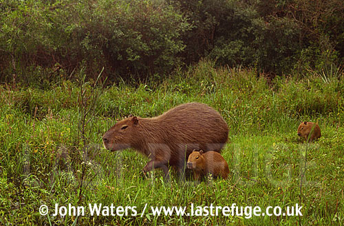 Capybara (Hydrochaeris hydrochaeris) female with pups, Ibera Marshes, North-East Argentina, Argentina