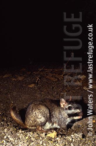 Viscacha (Lagostomus maximus), North-East Argentina, Argentina