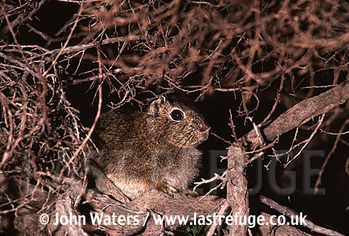 Southern Mountain Cavy (Microcavia australis): Adult sheltering in scubby bush, Peninsula Valdez, , Patagonia, Argentina
