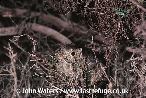 Southern Mountain Cavy (Microcavia australis): Adult feeding on scrubby bush, Peninsula Valdez, , Patagonia, Argentina