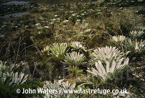 Typical paramo vegetation, Andes, Venezuela