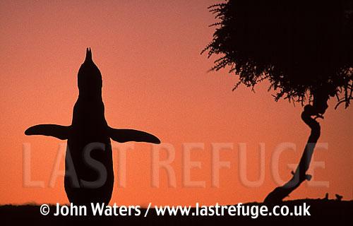 Magellan Penguin (Spheniscus magellanicus) : adult calling (braying) for mate, sunset silouhette, Punta Tombo, Patagonia, Argentina, South America