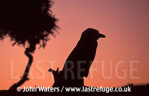 Magellan Penguin (Spheniscus magellanicus) : adult standing by bush, evening silouhette, Punta Tombo, Patagonia, Argentina, South America