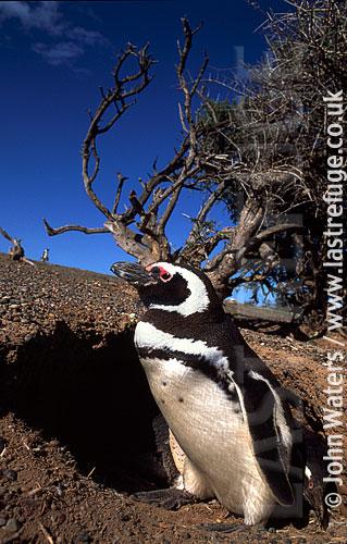 Magellan Penguin (Spheniscus magellanicus) : adult standing at entrance to burrow, Punta Tombo, Patagonia, Argentina, South America