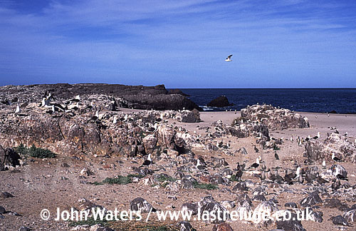 Magellan Penguins (Spheniscus magellanicus) : wide view of colony, crowded nesting burrows, coastal location, Punta Tombo, Patagonia, Argentina, South America