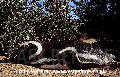 Magellan Penguin (Spheniscus magellanicus) : adult resting under bush, Patagonia, Punta Tombo, Patagonia, Argentina, South America