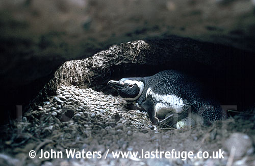 Magellan Penguin (Spheniscus magellanicus) : adult incubating in burrow, taken inside burrow, Punta Tombo, Patagonia, Argentina, South America