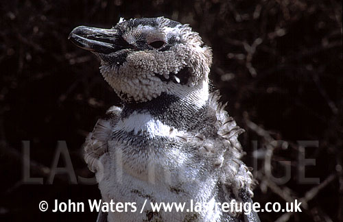 Magellan Penguin (Spheniscus magellanicus) : adult undergoing first year moult, Punta Tombo, Patagonia, Argentina, South America