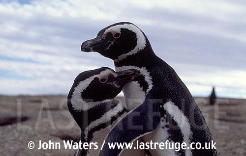 Magellan Penguins (Spheniscus magellanicus) : adult pair, courtship dance, Punta Tombo, Patagonia, Argentina, South America