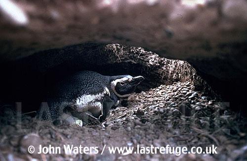 Magellan Penguin (Spheniscus magellanicus) : within burrow, adult incubating eggs, Punta Tombo, Patagonia, Argentina, South America