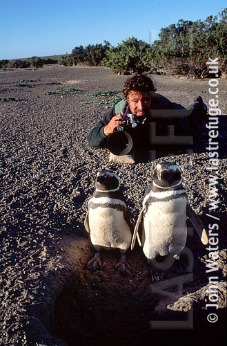 Magellan Penguins (Spheniscus magellanicus) : photographer, John Waters, lying on ground, to photograph adult pair standing at burrow entrance, Punta Tombo, Patagonia, Argentina, South America