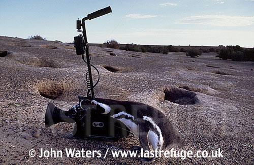 Magellan Penguin (Spheniscus magellanicus) : adult penguin inspecting cine camera kit on ground, Punta Tombo, Patagonia, Argentina, South America