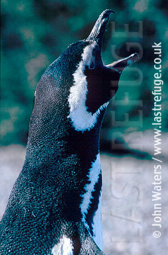 Magellan Penguin (Spheniscus magellanicus) : close up, adult female, courtship call, Punta Tombo, Patagonia, Argentina, South America