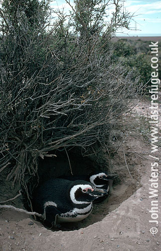 Magellan Penguins (Spheniscus magellanicus) : adult pair, resting at entrance to burrow, under bush, Punta Tombo, Patagonia, Argentina, South America