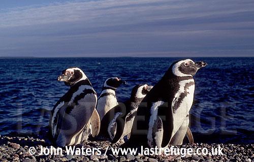 Magellan Penguins (Spheniscus magellanicus) : several adults on gravel ridge, sea background, Punta Tombo, Patagonia, Argentina, South America
