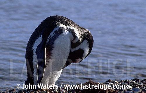 Magellan Penguin (Spheniscus magellanicus) : lone adult preening stomach feathers, standing on gravel ridge, sea background, Punta Tombo, Patagonia, Argentina, South America