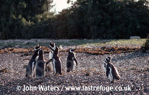 Magellan Penguins (Spheniscus magellanicus) : group of adults, courtship calling (braying), gravel foreground, bushy backgroun, Punta Tombo, Patagonia, Argentina, South America