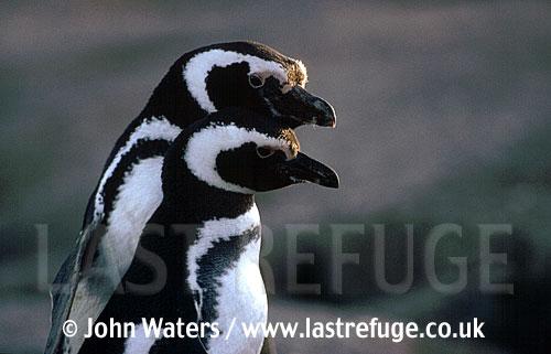 Magellan Penguin (Spheniscus magellanicus) : adult pair, courtship dance, Punta Tombo, Patagonia, Argentina, South America
