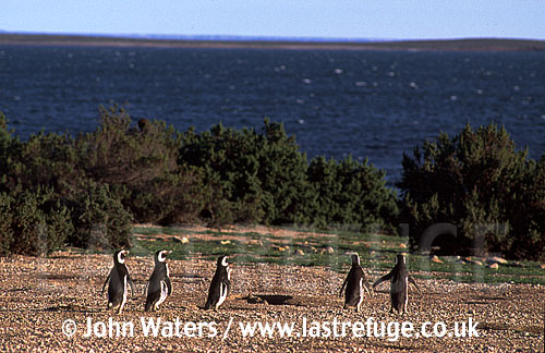 Magellan Penguins (Spheniscus magellanicus) : scenic, Penguins colony, foreground five adults walk away from camera, Punta Tombo, Patagonia, Argentina, South America