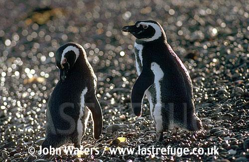 Magellan Penguins (Spheniscus magellanicus) : adult pair, one standing, one preening, on gravel bea, Punta Tombo, Patagonia, Argentina, South America