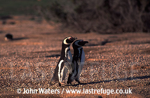 Magellan Penguins (Spheniscus magellanicus) : adult pair, walking together, courtship, Punta Tombo, Patagonia, Argentina, South America