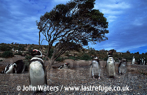 Magellan Penguins (Spheniscus magellanicus) : adults and large chicks standing by windblown bush, Punta Tombo, Patagonia, Argentina, South America