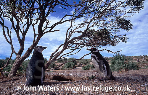 Magellan Penguins (Spheniscus magellanicus) : adult female and large chick standing by straggly bush, Punta Tombo, Patagonia, Argentina, South America