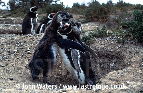 Magellan Penguins (Spheniscus magellanicus) : adult being mobbed by two large chicks, trying to solicit feeding, Punta Tombo, Patagonia, Argentina, South America