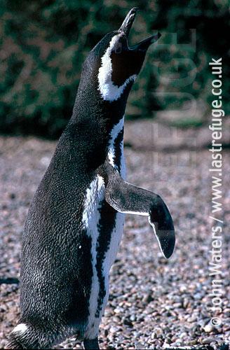 Magellan Penguin (Spheniscus magellanicus) : close up, adult , courtship call, Punta Tombo, Patagonia, Argentina, South America
