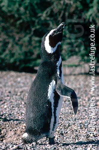 Magellan Penguin (Spheniscus magellanicus) : close up, adult, courtship call, Punta Tombo, Patagonia, Argentina, South America