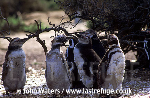Magellan Penguins (Spheniscus magellanicus) : group of adults, standing, undergoing first year moult, bush background, Punta Tombo, Patagonia, Argentina, South America