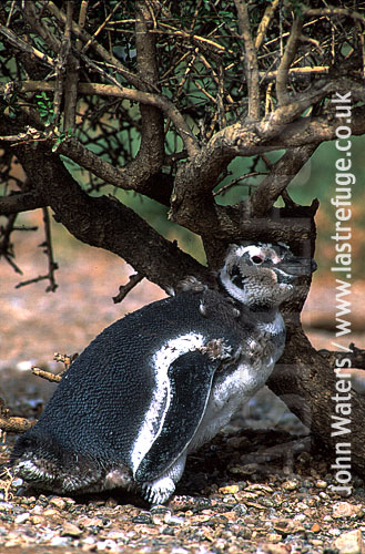 Magellan Penguin (Spheniscus magellanicus) : close up, adult standing under bush, undergoing first year moult, Punta Tombo, Patagonia, Argentina, South America