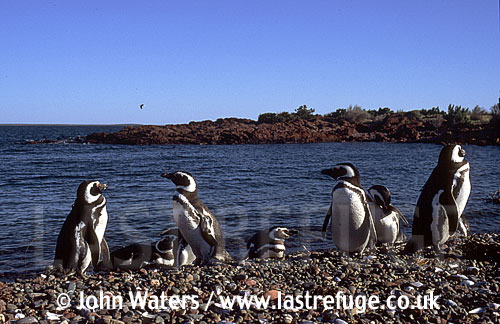 Magellan Penguins (Spheniscus magellanicus) : several adults, on gravel beach, sea background, Punta Tombo, Patagonia, Argentina, South America