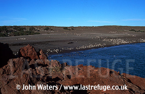 Magellan Penguins (Spheniscus magellanicus) : scenic, many Penguins at water's edge, rocky foreground, Punta Tombo, Patagonia, Argentina, South America